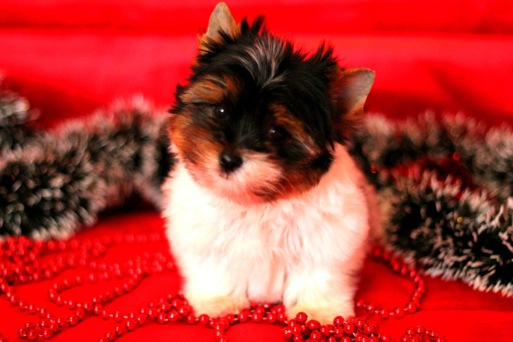 biver 1 1024x683 - Бивер-йорк: фото собаки, все о породе