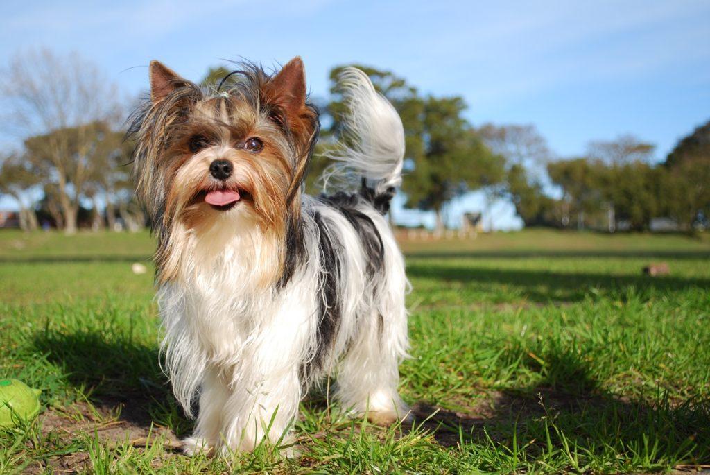 biver 2 1024x685 - Бивер-йорк: фото собаки, все о породе