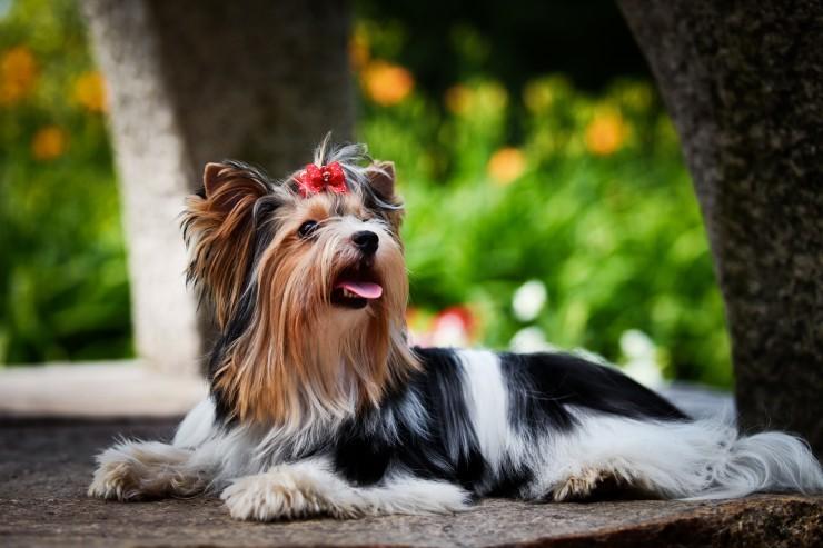 biver - Бивер-йорк: фото собаки, все о породе