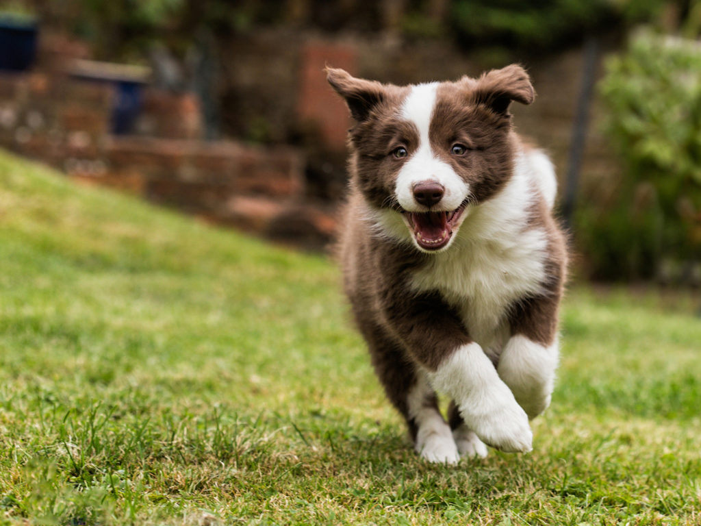 Щенок border collie.