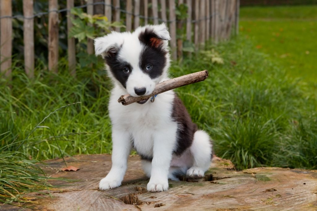Малыш border collie.
