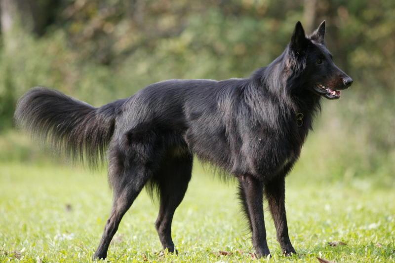 chernaya ovcharka 1 - Грюнендаль: фото собаки и описание породы