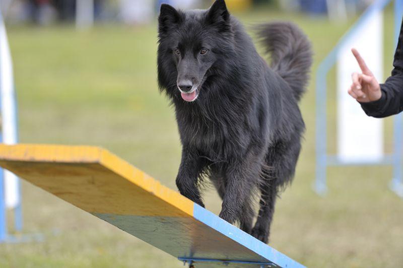 chernaya ovcharka 3 - Грюнендаль: фото собаки и описание породы