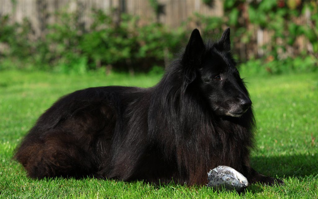 chernaya ovcharka 4 1024x640 - Грюнендаль: фото собаки и описание породы