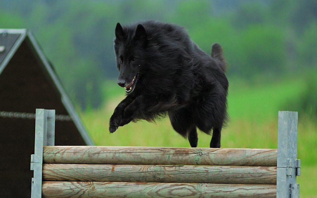 chernaya ovcharka 5 1024x640 - Грюнендаль: фото собаки и описание породы