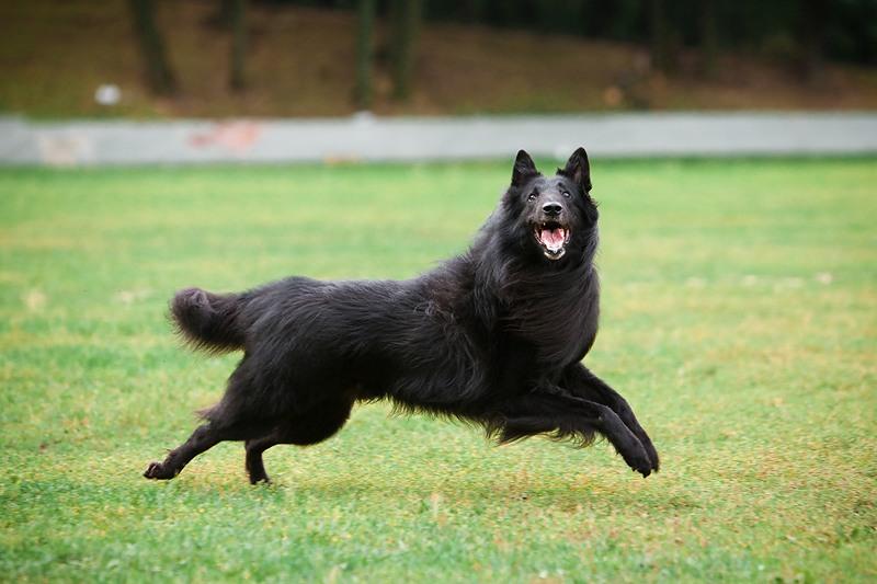 chernaya ovcharka 6 - Грюнендаль: фото собаки и описание породы