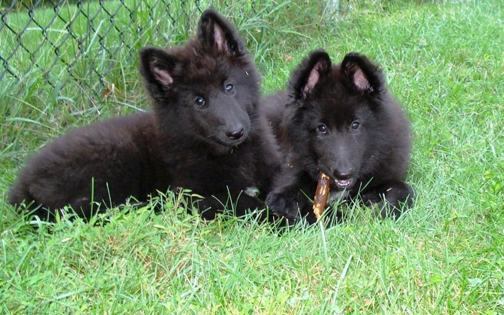 chernaya ovcharka shhenki - Грюнендаль: фото собаки и описание породы