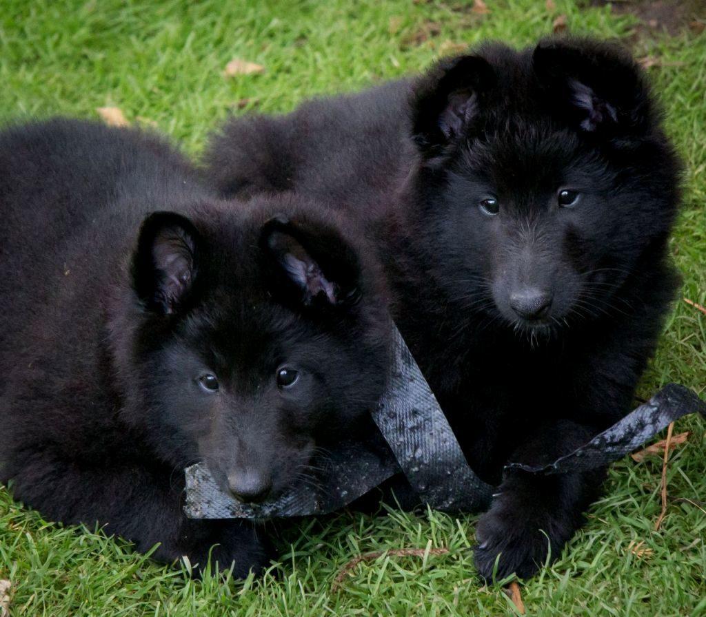 chernaya ovcharka shhenok 1024x896 - Грюнендаль: фото собаки и описание породы