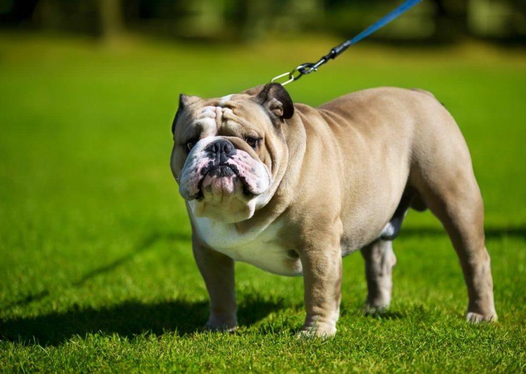 english bulldog 1024x728 - Французский и английский бульдог: сравнение пород
