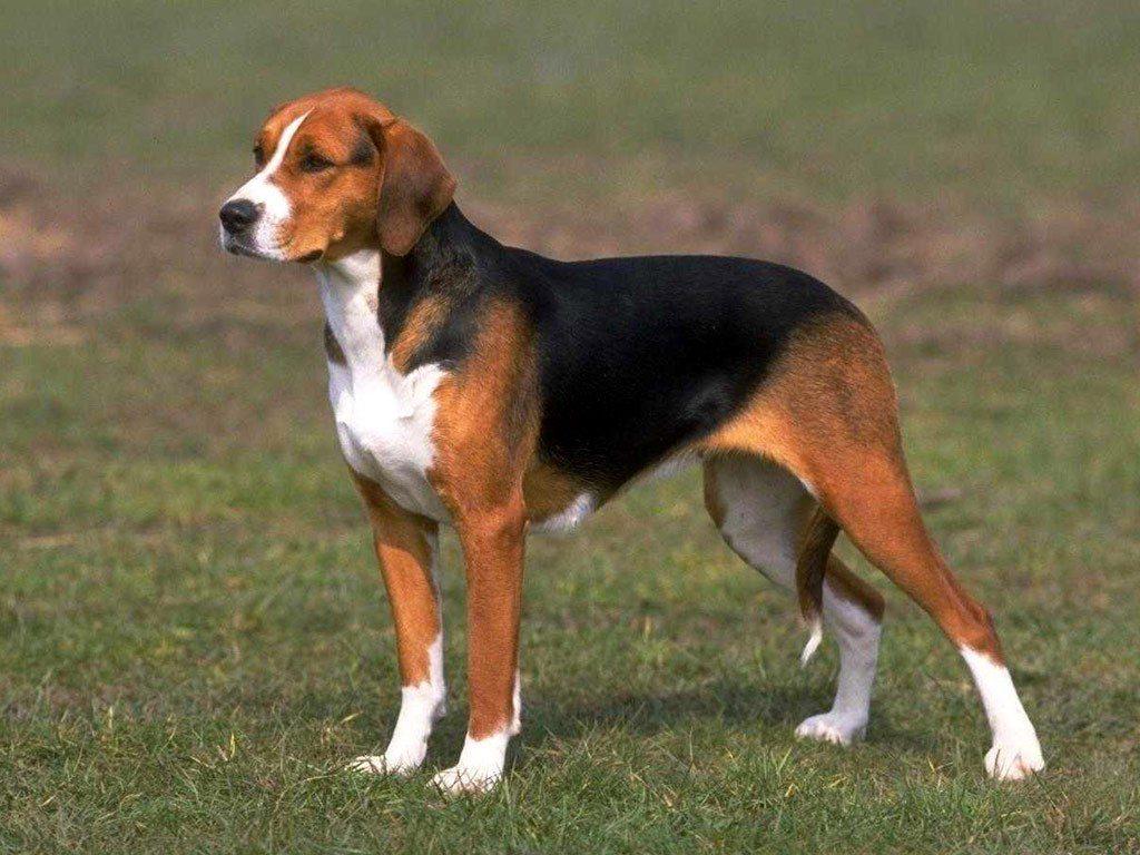 estonskaya gonchaya 1 1024x768 - Эстонская гончая и бигль: отличия и схожесть собак