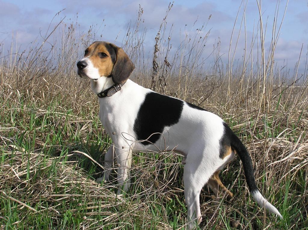 estonskaya gonchaya 1024x766 - Эстонская гончая и бигль: отличия и схожесть собак