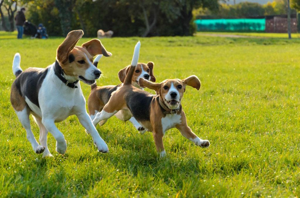 foto biglej 1024x678 - Эстонская гончая и бигль: отличия и схожесть собак
