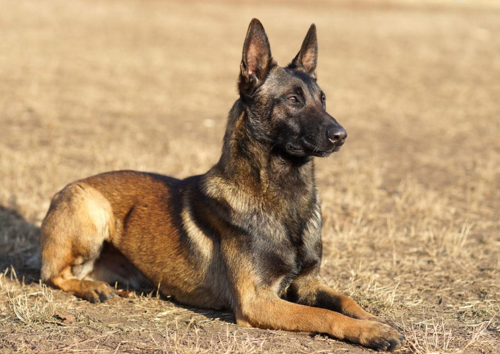 foto sobaki 1024x724 - Бельгийская овчарка малинуа: фото собаки и описание породы