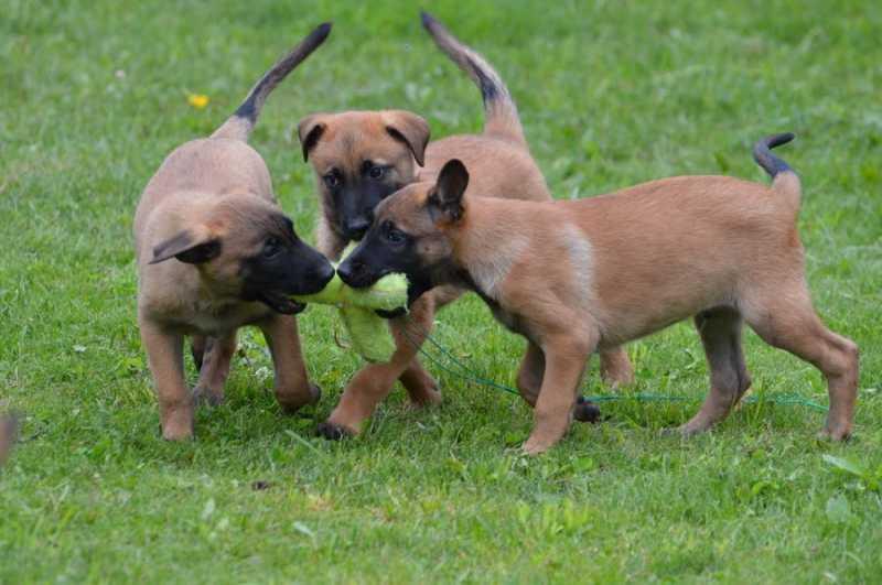 kak vybrat shhenka 2 - Бельгийская овчарка малинуа: фото собаки и описание породы