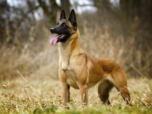malinua foto - Бельгийская овчарка малинуа: фото собаки и описание породы