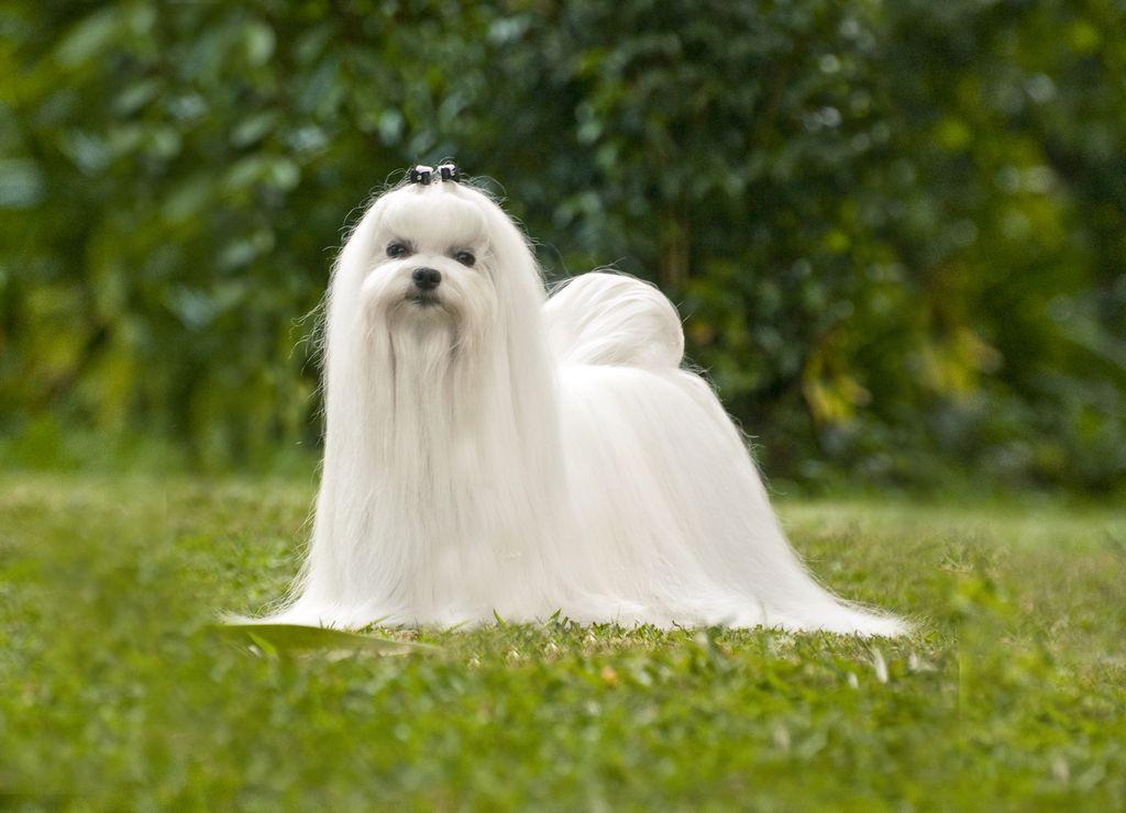 Уход за длинной шерстью декоративной собаки.