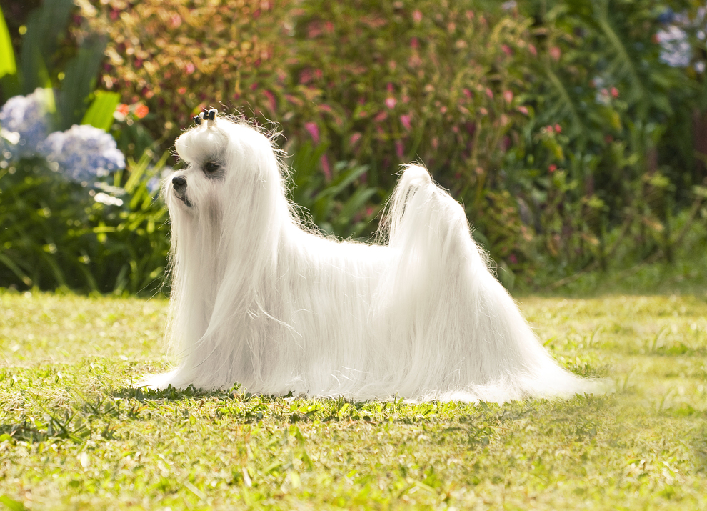 Собака мальтийская болонка: фото.