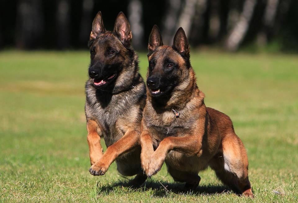 na ringe - Бельгийская овчарка малинуа: фото собаки и описание породы