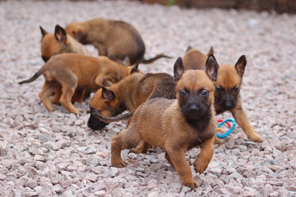 shhenki 4 1024x681 - Бельгийская овчарка малинуа: фото собаки и описание породы