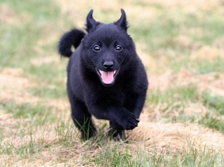 shipperke 1 - Шипперке (схипперке): фото собаки, описание породы