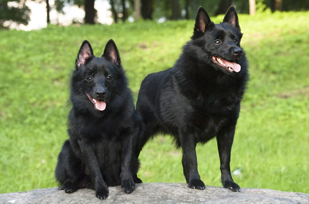 shipperke 2 1024x678 - Шипперке (схипперке): фото собаки, описание породы