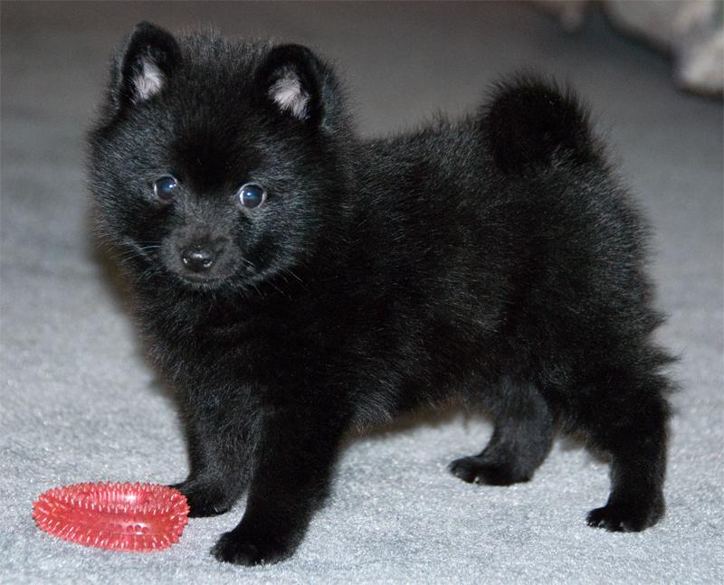 shipperke 3 - Шипперке (схипперке): фото собаки, описание породы