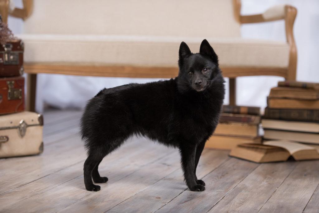 shipperke 4 1024x684 - Шипперке (схипперке): фото собаки, описание породы