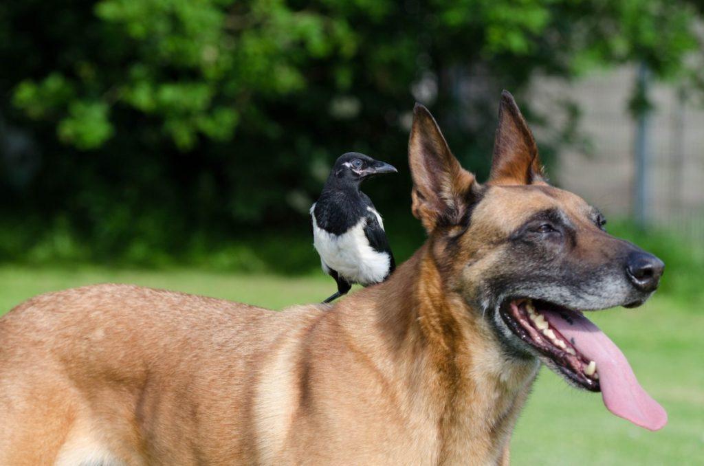sotsializatsiya 3 1024x678 - Бельгийская овчарка малинуа: фото собаки и описание породы