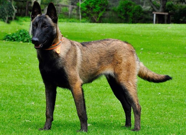 standart porody 2 - Бельгийская овчарка малинуа: фото собаки и описание породы