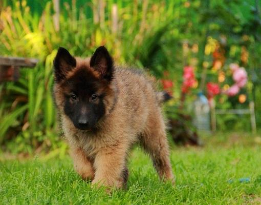 Цена щенков бельгийской овчарки