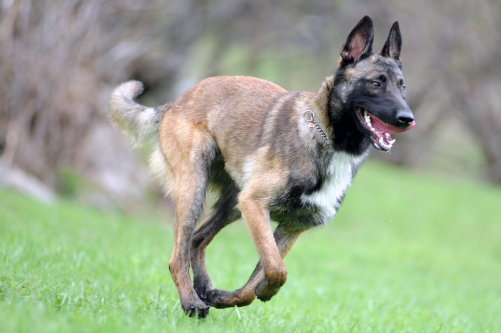 vygul 3 1024x682 - Бельгийская овчарка малинуа: фото собаки и описание породы