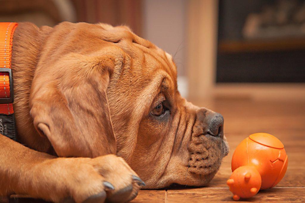 Бордоский дог: фото, особенности собаки.