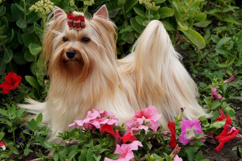 Порода собак голддаст.