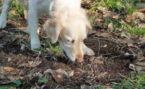Копрофагия у собаки.