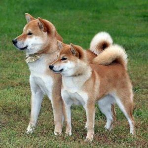 Сравнение двух пород японских собак.