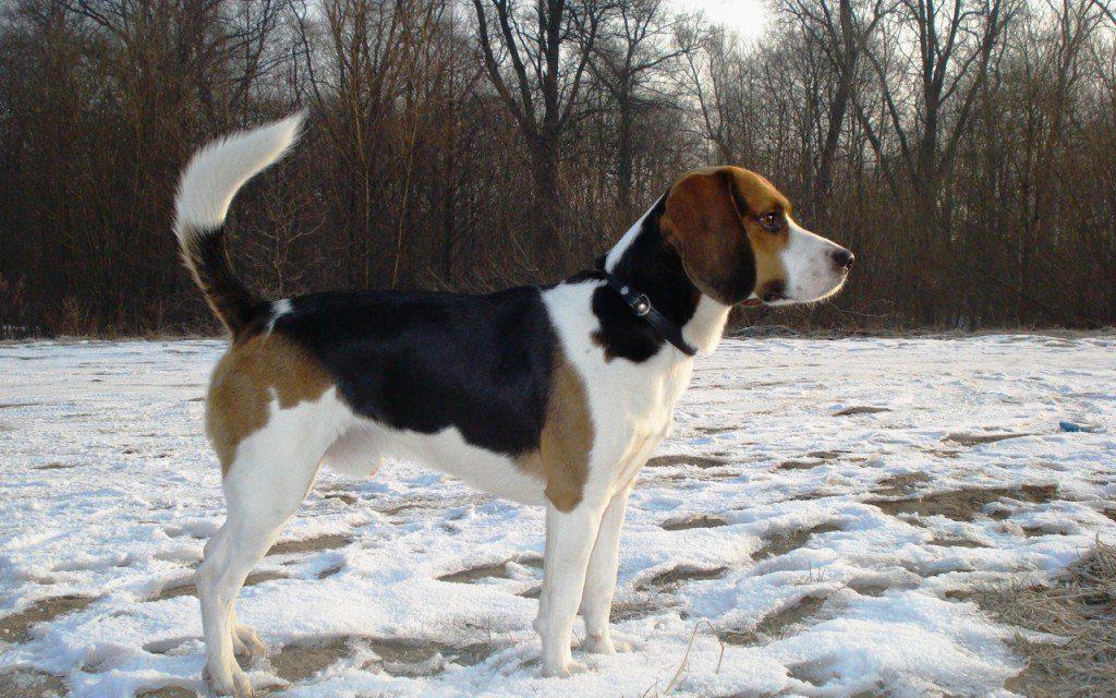 bigl harer2 1024x640 - Бигль харьер: фото собаки и описание породы