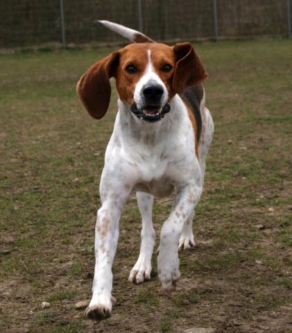 bigl harer4 - Бигль харьер: фото собаки и описание породы
