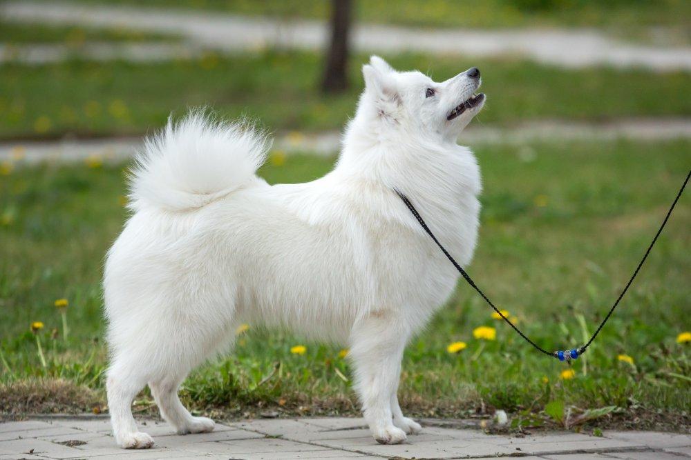 Белый гроссшпиц.