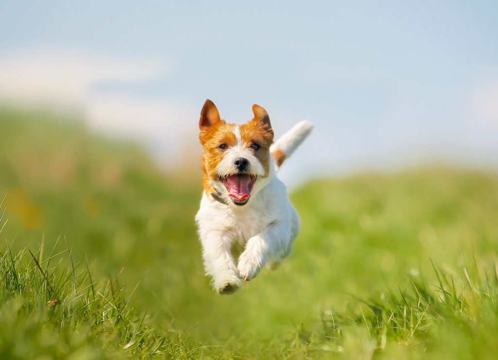 Все о породе jack russell terrier.
