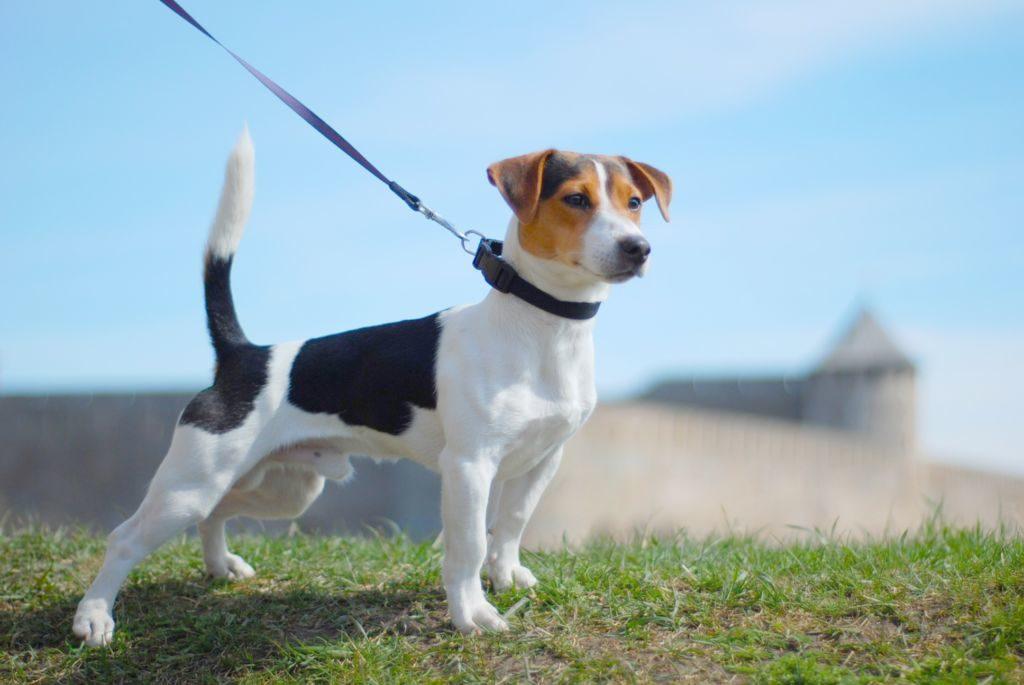 jack russell terrier: особенности содержания.