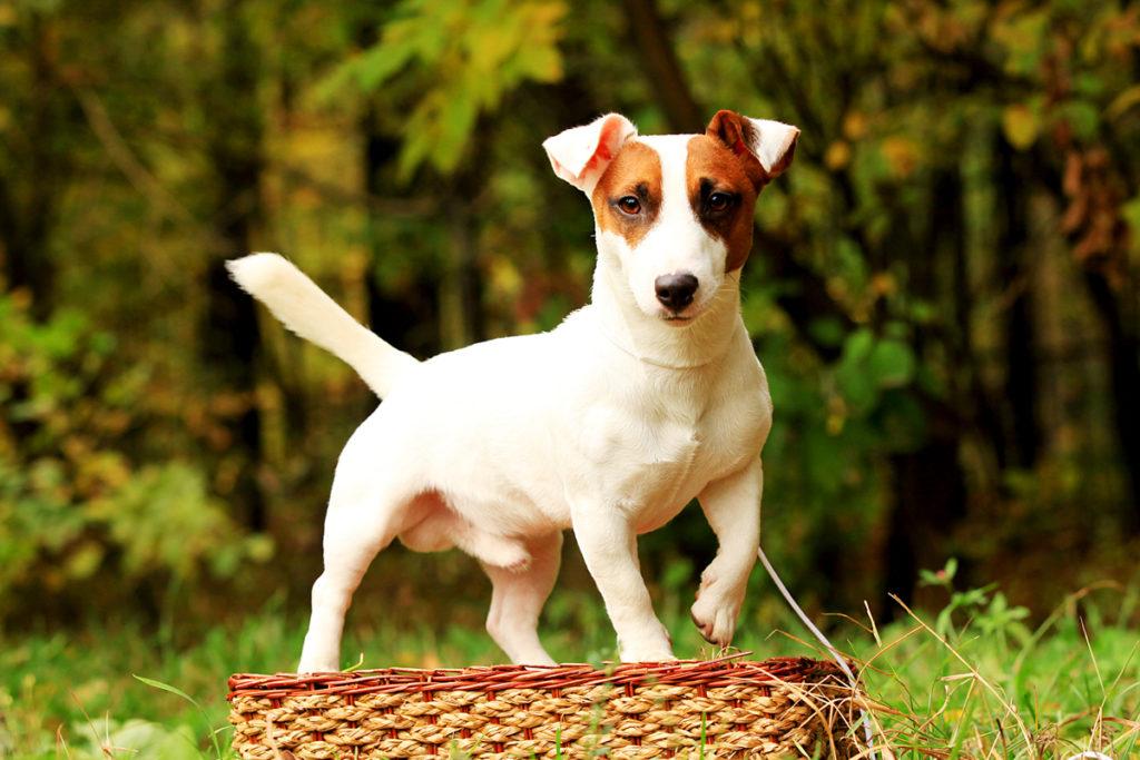 Особенности породы jack russell terrier.