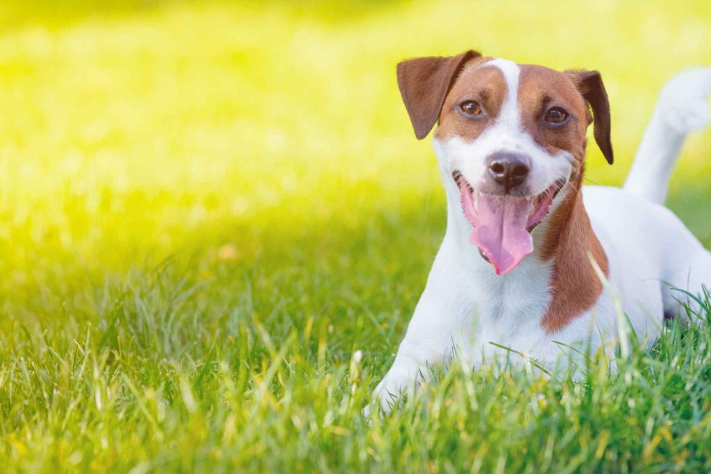 Описание породы jack russell terrier.