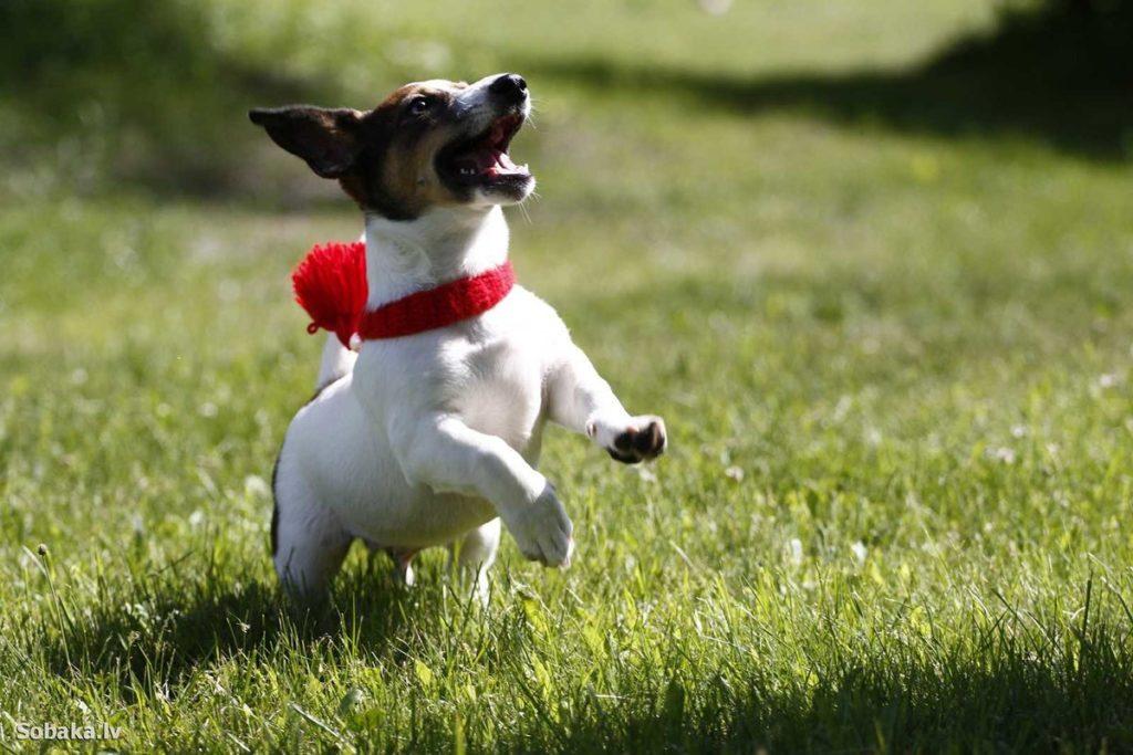 Все, что нужно знать о jack russell terrier.