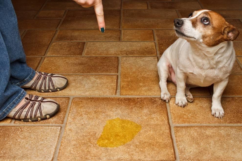 kak otuchit sobaku gadit - Как отучить собаку писать, гадить дома в неположенном месте