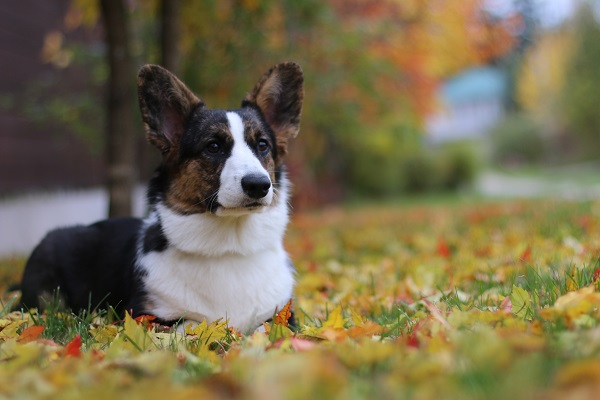 Welsh Corgi Cardigan.