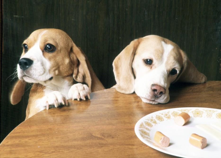 otuchit ot stola 3 - Как отучить собаку лазить на стол с едой и воровать