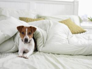 Питомец лежит на постели хозяина.