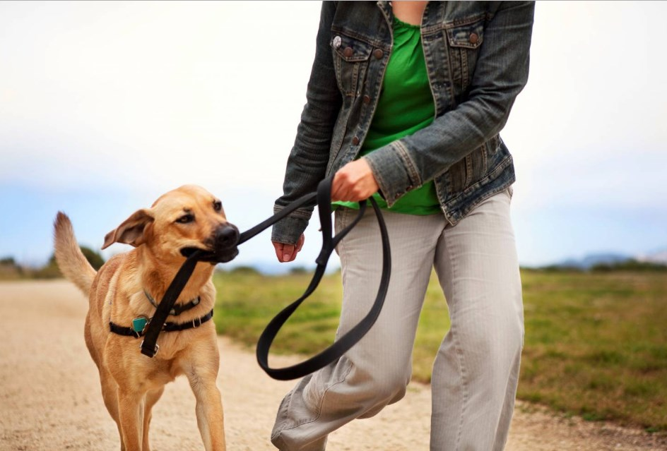 otuchit tyanut povodok 3 - Как отучить взрослую собаку тянуть поводок на прогулке