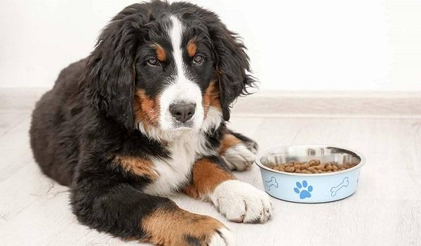 Питание швейцарских собак.