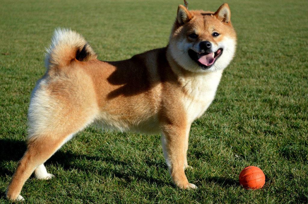 Особенности японской собаки шиба.